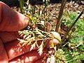 Starr-131216-2791-Daucus carota subsp sativus-leaves-Hawea Pl Olinda-Maui (25202225756).jpg