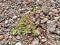 Starr-140502-0487-Matricaria discoidea-flowering habit-Summit parking area HNP-Maui (25215822726).jpg