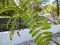 Starr-150328-0991-Sesbania grandiflora-leaves-Midway Mall Sand Island-Midway Atoll (24903657499).jpg