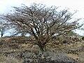 Starr 010516-0020 Erythrina sandwicensis.jpg