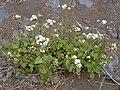 Starr 030419-0047 Ageratina adenophora.jpg