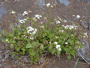 Description de l'image Starr 030419-0047 Ageratina adenophora.jpg.