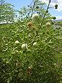 Starr 030626-0006 Leucaena leucocephala.jpg