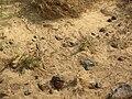 Starr 051020-8334 Sporobolus virginicus.jpg