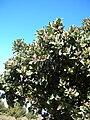 Starr 051224-8599 Santalum haleakalae.jpg