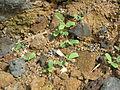 Starr 060228-6245 Tribulus cistoides.jpg
