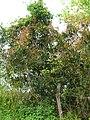 Starr 060422-7924 Syzygium jambos.jpg