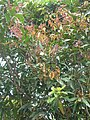 Starr 060422-9434 Syzygium jambos.jpg