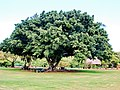 Starr 061106-1428 Ficus microcarpa.jpg