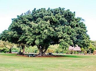 Ficus microcarpa - Image: Starr 061106 1428 Ficus microcarpa
