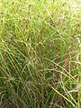 Starr 061108-9644 Cyperus trachysanthos.jpg