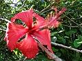 Starr 061109-1506 Hibiscus rosa-sinensis.jpg