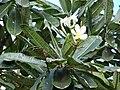 Starr 070123-3701 Plumeria obtusa.jpg