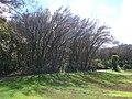 Starr 070604-7254 Syzygium jambos.jpg
