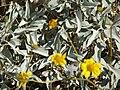 Starr 071224-0455 Encelia farinosa.jpg