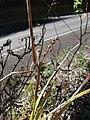 Starr 090213-2471 Unknown cyperaceae.jpg