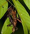 Stick Insects (Haaniella echinata) mating (23171676042).jpg