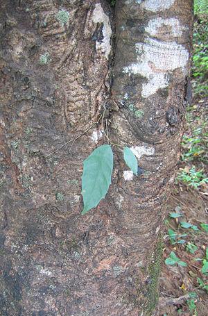 Strangler fig - Image: Strangler fig plant