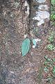 Strangler fig plant.jpg