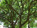 Sumak octowiec, 17 czerwiec. Widziane od spodu. Widać sporo suchych gałęzi do usunięcia na wiosnę..jpg