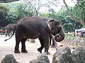Sumatran elephant Ragunan Zoo 2.JPG