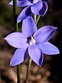 Sun Orchid Long Track.jpg