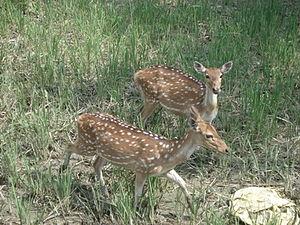 Sundarbans East Wildlife Sanctuary - Spotted deer in the Sundarbans