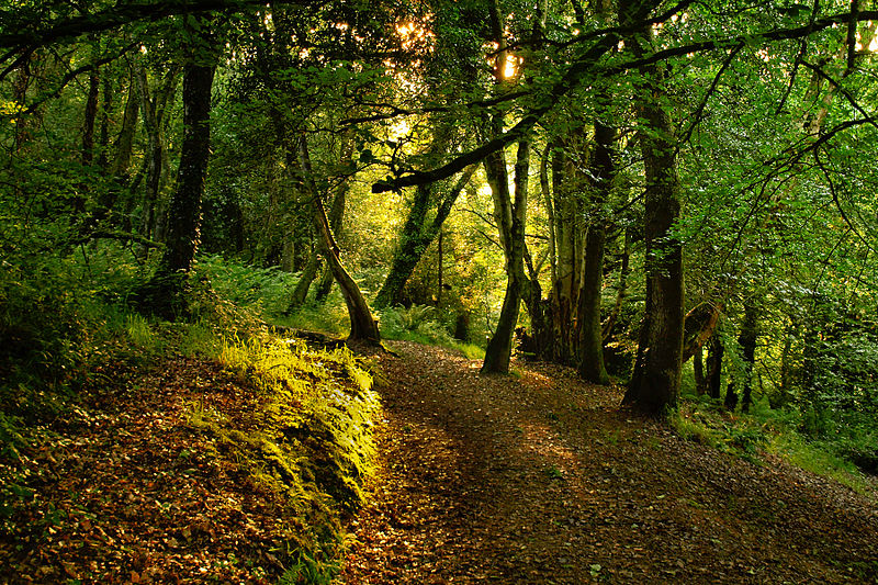 File:Sunlight in Tramlines Wood, Okehampton.jpg