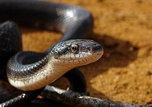 English: Elaphe obsoleta - A black rat snake (...
