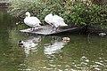 Swans in Herbert Park, Ballsbridge, Dublin (10600607773).jpg