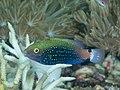 Swarthy parrotfish (Scarus niger) (46918821084).jpg