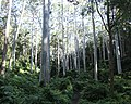 Sydney Blue Gum Forest Westleigh.jpg