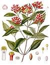 Syzygium aromaticum - Köhler–s Medizinal-Pflanzen-030.jpg