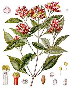 Gewürznelke (Syzygium aromaticum)