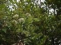 Syzygium caryophyllatum (5657960237).jpg