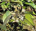 Syzygium zeylanicum 08.JPG
