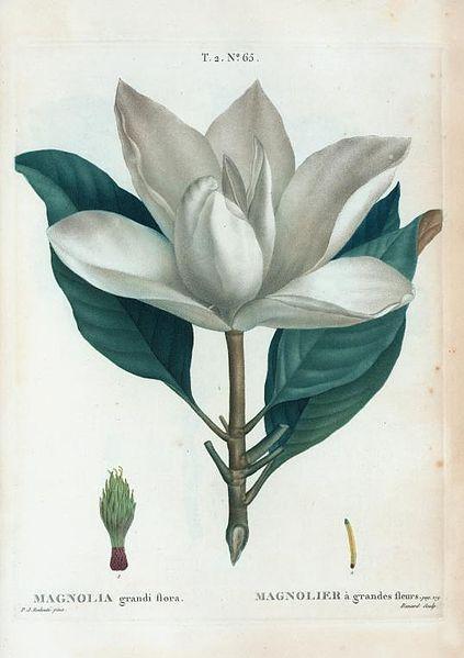 File:T2 65 Magnolia grandiflora par Pierre-Joseph Redouté.jpeg