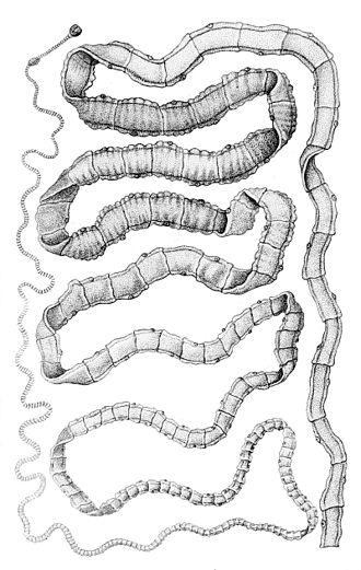 Taenia solium - Taenia solium adult
