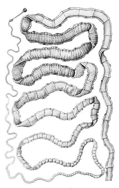 Pásomnice parazitujú hlavne v črevách