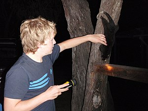 Phalangeriformes - Tame possum in Busselton, Western Australia