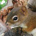Tamiasciurus hudsonicus closeup.jpg