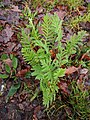 Tanacetum vulgare 108709454.jpg