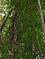 Tangle of Lianas (23334350104).jpg