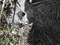Tarantula u prašumi u provinciji Ratanakiri.jpg