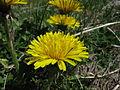 Taraxacum officinale head8 ST (15756760273).jpg
