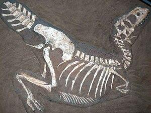 Tarbosaurus - Cast of specimen PIN 553-1, holotype of Gorgosaurus lancinator, in death pose