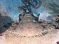 Tasselled wobbegong (Eucrossorhinus dasypogon) - 49929002423.jpg