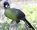 Tauraco hartlaubi -Montecasino Bird Gardens, Montecasino, Fourways, Johannesburg, South Africa-8a (2).jpg