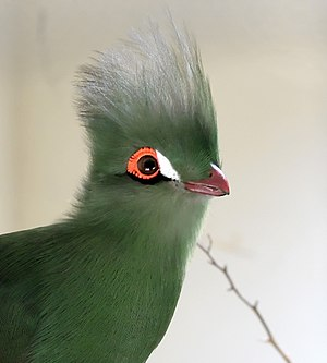 Guinea turaco - T. persa buffoni is the only subspecies of the Guinea turaco without a white line below the eye