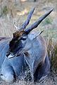 Taurotragus oryx - Disney's Animal Kingdom Lodge, Orlando, Florida, USA - 2010-01-19 - 04.jpg